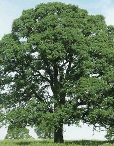 3 Oak Tree Seedlings Laurel Oak Quercus Laurifolia Diamond Swamp Attract Wildlif