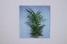 10 Semillas Chamaedorea elegans, PALMERA montaña, Palma , planta, #6