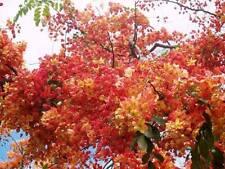 Cassia marginata RED SHOWER TREE orange-red flowers SEEDS!