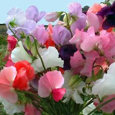 Flower - Sweet Pea - Mammoth Mixed - 40+ Seeds 3g