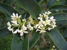 Sweet Olive (Osmanthus Fragrans) Live plants