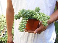 Donkey Tail Succulent - Sedum Morganianum - 4 inch pot