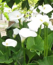 3 ARUM LILY PLANTS, WHITE. FULLY MATURE SIZE.