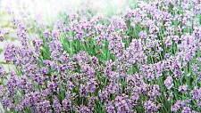 Graines de LAVANDE vrai violet bleu.   Semence  50 seeds de  France.