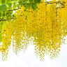Garten Pflanzen Samen Blume Zierpflanze Saatgut Rankpflanke GOLDREGEN