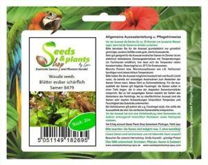 20x Wasabi Seeds Leaves Edible Schärflich Garden Plants - Seed B479