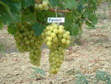 40 + FRESH Favorit Grape seeds, From Moldova, Non GMO