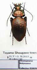 Carabus ohomopterus maiyasanus (female A1) from JAPAN (Carabidae)