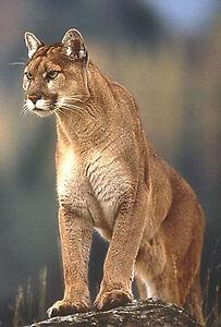 Framed Print - The Cougar / Mountain Lion (Picture Big Cat Animal Predator Art)