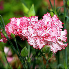 CARNATION BENIGNA - 100 SEEDS -  DIANTHUS CARYOPHYLLUS CHABAUD - CUT FLOWERS