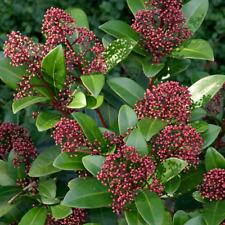 More details for 1 x skimmia japonica 'rubella' evergreen shrub hardy garden plant in pot
