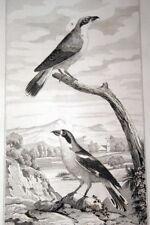 OISEAUX BUFFON GRAVURE PIE GRIECHE ROUSSE ECORCHEUR 1835 BF114