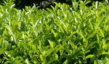 5 PZ Pianta di Lauroceraso Siepe di Lauroceraso Prunus laurocerasus vaso 7