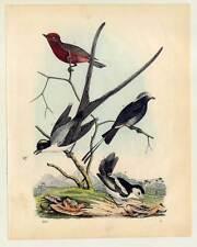 Vögel - Fliegenfänger - Muscicapa - altkolorierte Lithographie 1860 Vogel