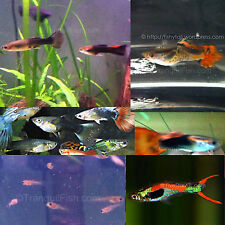 10+ Guppies Various Sizes & Colors FISH BABIES & ADULTS - COBRAS FANCY ENDLERS