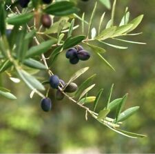 """Kalamon"" olives - 4 strong olive tree cuttings + 1 gift!"