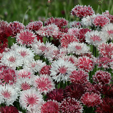 Cornflower - Classic Romantic - 100 Seeds