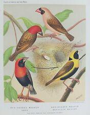 VECCHIO antico stampa cassells gli uccelli da voliera WEAVER Oryx stampato colore C1880's