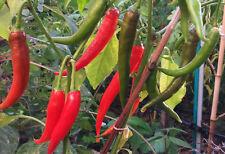 Korean Hot Long Green Chilli - Excellent Variety for Your Garden & Fresh Markets