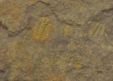 Trilobit DIACANTHASPIS MINUTA Oberes Silur Beroun Kosov Tschechien Böhmen *MA