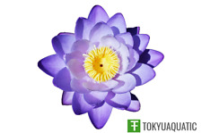 Nymphaea Chai Mongkol Blue Tropical Water Lily Tuber Live Rhizome Seed Aquatic