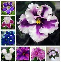 50PCS Viola Seeds English Violet Flower Wild Pansy Heartsease Violetta Flower