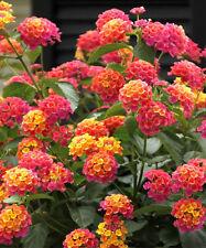 Lantana Camara 30-500 Seeds, Shrub Verbena Flowering Perennial Houseplant