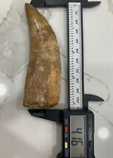 AFRICAN T-REX   Carcharodontosaurus 🦖 Tooth - 4.16 in.  NATURAL - REAL