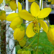 Cassia fistula GOLDEN SHOWER TREE ~SEEDS~