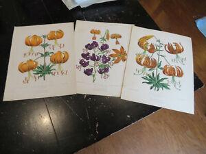 Lilium , Floral Magazine New SeriesLilium Humboldtii,  3 plates