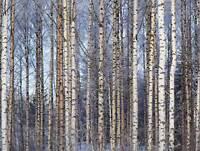 BIRCH FOREST TREES SILVER PHOTO FINE ART PRINT POSTER HOME DECOR BMP070B
