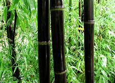 20 Phyllostachys Nigra, Hardy Black Bambo Fresh Seeds