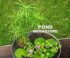 1 Plant~Dwarf Umbrella Palm~Cyperus alternifoli  'Baby Tut'~Japanese Garden