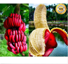 100+ pcs Rare Red Banana Seeds milk taste, delicious fruit seeds
