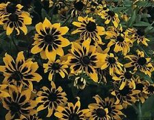 NEW 30+ RUDBECKIA SOLAR ECLIPSE FLOWER SEEDS / PERENNIAL