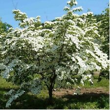 Chinese Dogwood Trees - Cornus kousa var 'chinensis'  Beautiful Flowering 18-24""