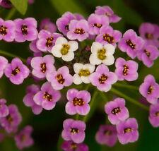 ** Rauhschopf Topfpflanze immergrün Steingarten winterhart.