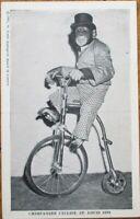 Dressed Monkey/Chimpanzee Riding Bicycle 1947 Postcard - St. Louis, MO Zoo