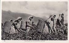 CEYLON : Plucking Tea Up-Country ,Ceylon RP-CEYLON PICTORIALS