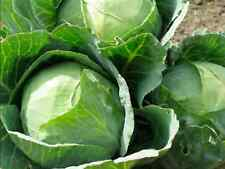 """Cabbage Seeds """"Golden Ace"""" (200 Seeds) Very Popular Variety,Excellent Flavour"""
