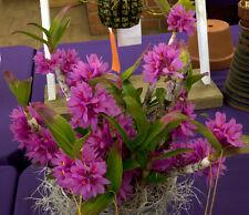 Rare orchid hybrid seedling plant - Dendrobium Hibiki