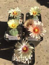 Astrophytum asterias flight #1, flower color selection