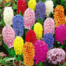 Mixed Color Orientalis Hyacinthus  Seeds Home Garden Plant Seed Decor *300pcs