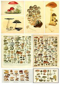 Educational vintage A3 A4 Mushroom Chart Biology Science Fungi art print poster