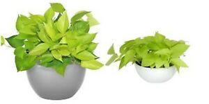 """NEON GREEN POTHOS LIVE HOUSE PLANT 4"""" Pot Tropical Indoors & Outdoors plant"""