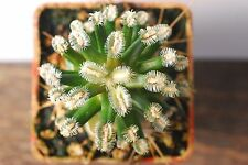 1x Mammillaria bertholdii aff. San Pedro de Quichapa, Oax.