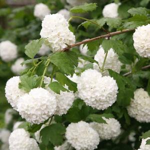 Snowball Tree, Gelder Rose -Viburnum opulus Roseum Plant in 9 cm Pot