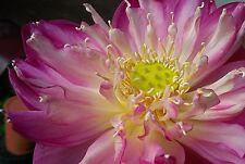 Sacred Pleanum Lotus - Roseum (nelumbo nucifera) 4 Reliable Viable Seeds