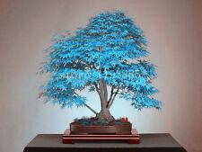 (20 Pcs) Graines bonsaï BLEU érable japonais Plantes Jardin Décoration Bulbes