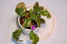"""African Violet """"Senk's Try The Decaf"""""""